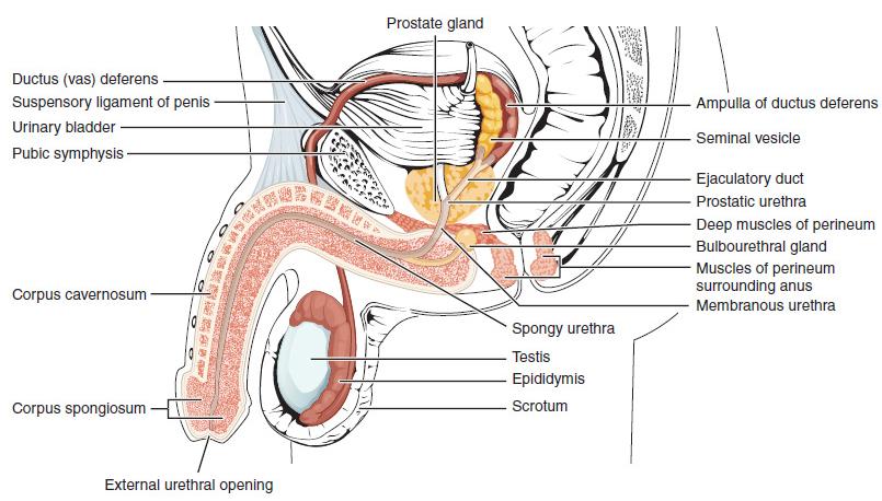 hogyan lehet a pénisz megnagyobbodni hím kakasok erekció nélkül