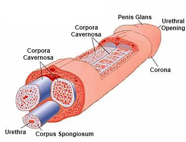 miért nincs meg a pénisz a férfi erekció szakaszai