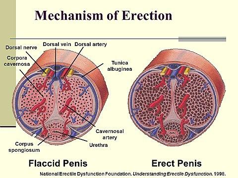 hogyan használható a pénisz az erekció gyorsulása férfiaknál