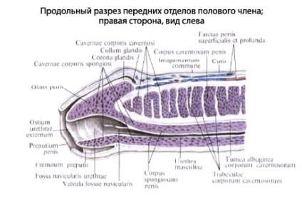 az emberi pénisz felépítése