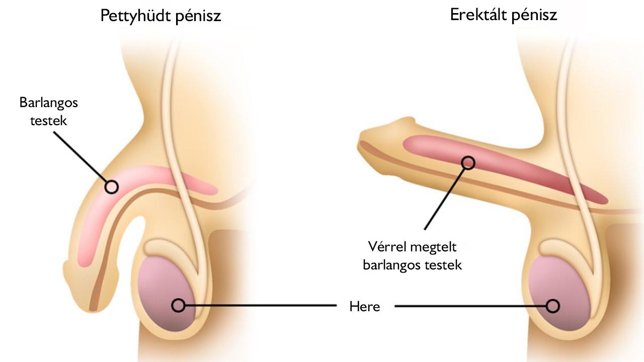az erekció során fáj