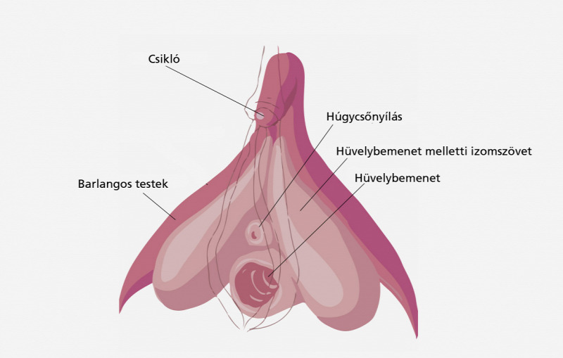 Az erekciónak nincs orgazmusa