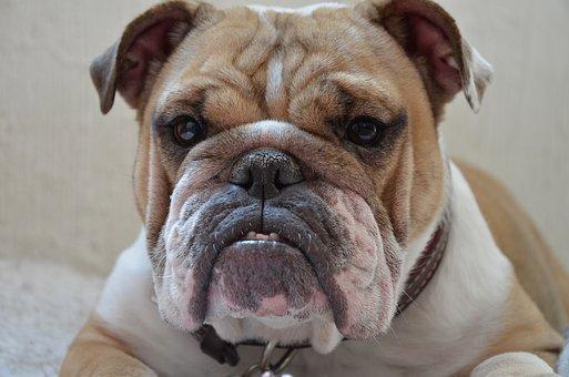 pénisz angol bulldog egy férfinak gyors merevedési oka van