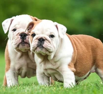 pénisz angol bulldog hogyan kell leadni egy merevedést